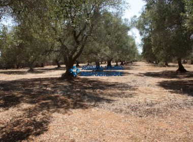 olive grove in salento