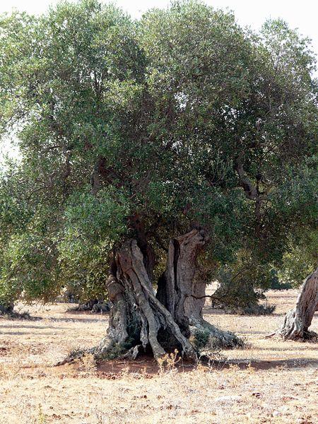 Gli ulivi secolari del Salento
